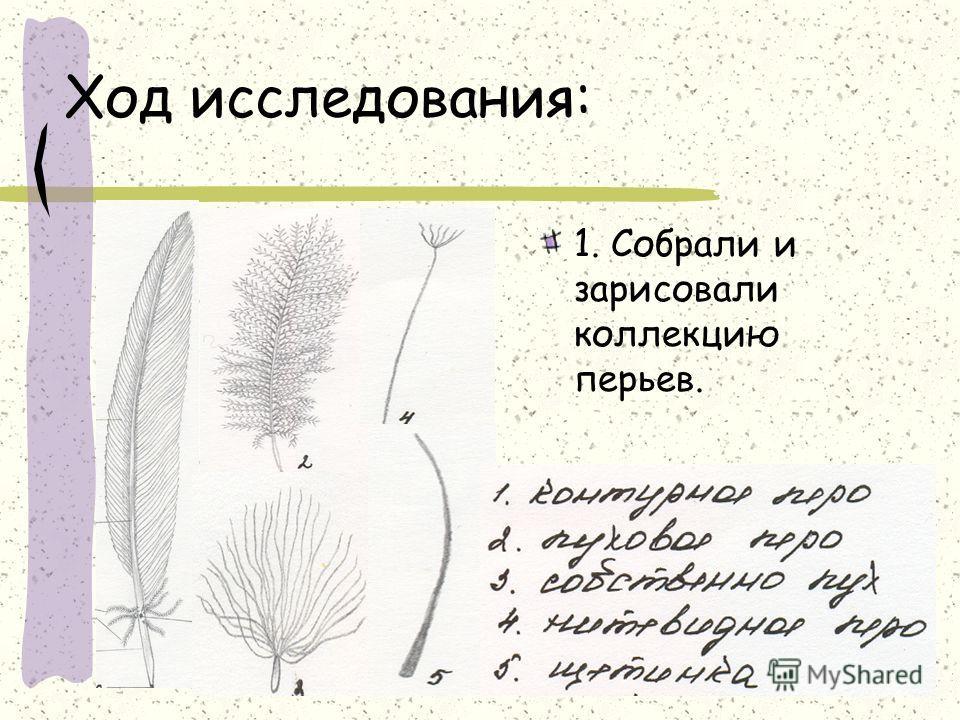 Ход исследования: 1. Собрали и зарисовали коллекцию перьев.
