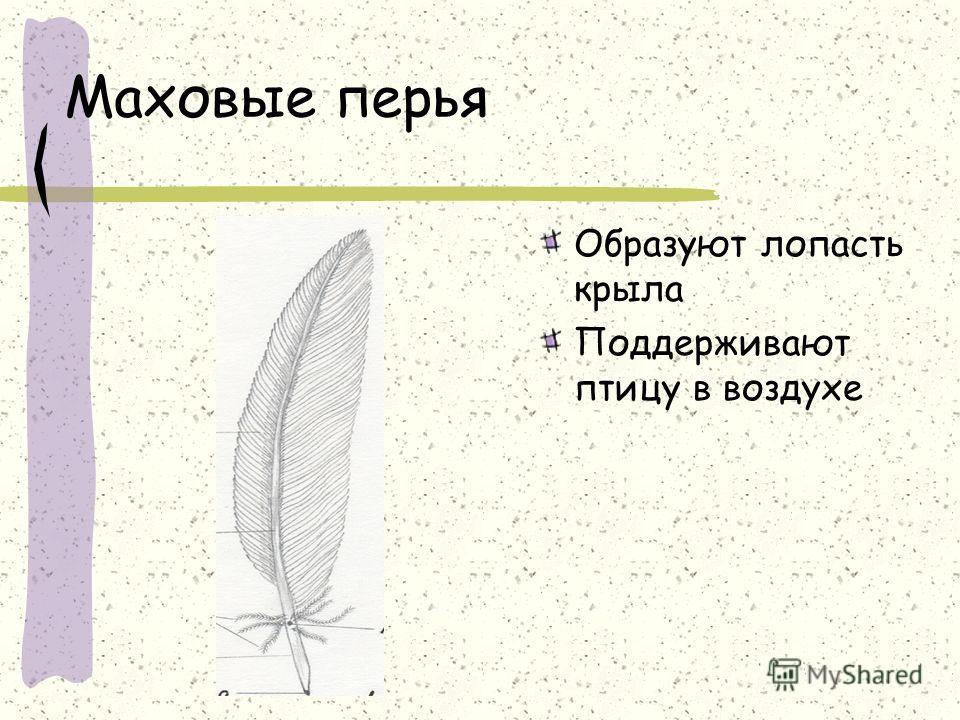 Маховые перья Образуют лопасть крыла Поддерживают птицу в воздухе
