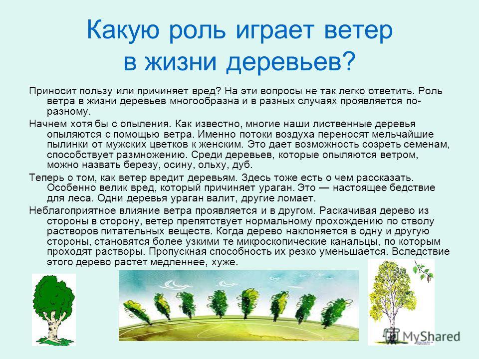 Какую роль играет ветер в жизни деревьев? Приносит пользу или причиняет вред? На эти вопросы не так легко ответить. Роль ветра в жизни деревьев многообразна и в разных случаях проявляется по- разному. Начнем хотя бы с опыления. Как известно, многие н
