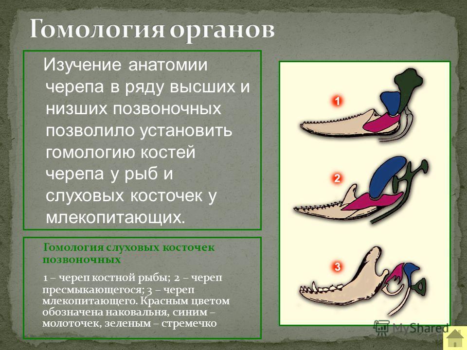 Гомология слуховых косточек позвоночных 1 – череп костной рыбы; 2 – череп пресмыкающегося; 3 – череп млекопитающего. Красным цветом обозначена наковальня, синим – молоточек, зеленым – стремечко Изучение анатомии черепа в ряду высших и низших позвоноч