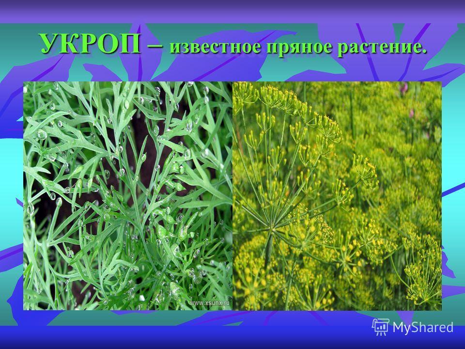 УКРОП – известное пряное растение.