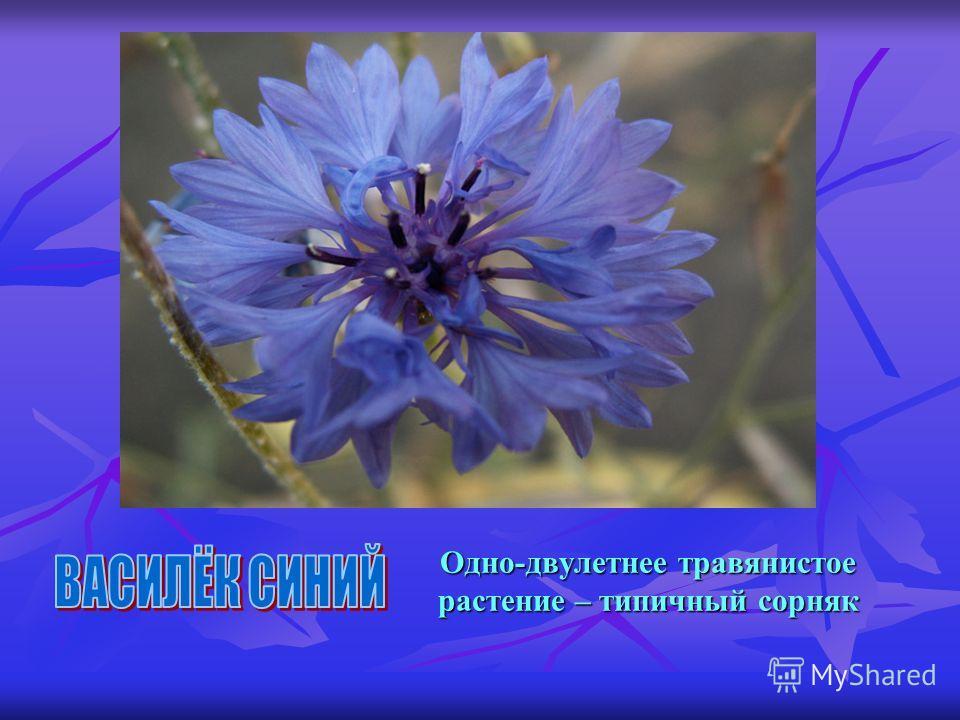 Одно-двулетнее травянистое растение – типичный сорняк Одно-двулетнее травянистое растение – типичный сорняк