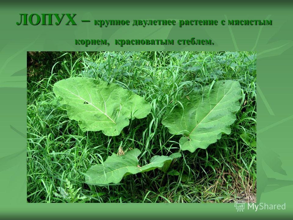 ЛОПУХ – крупное двулетнее растение с мясистым корнем, красноватым стеблем.