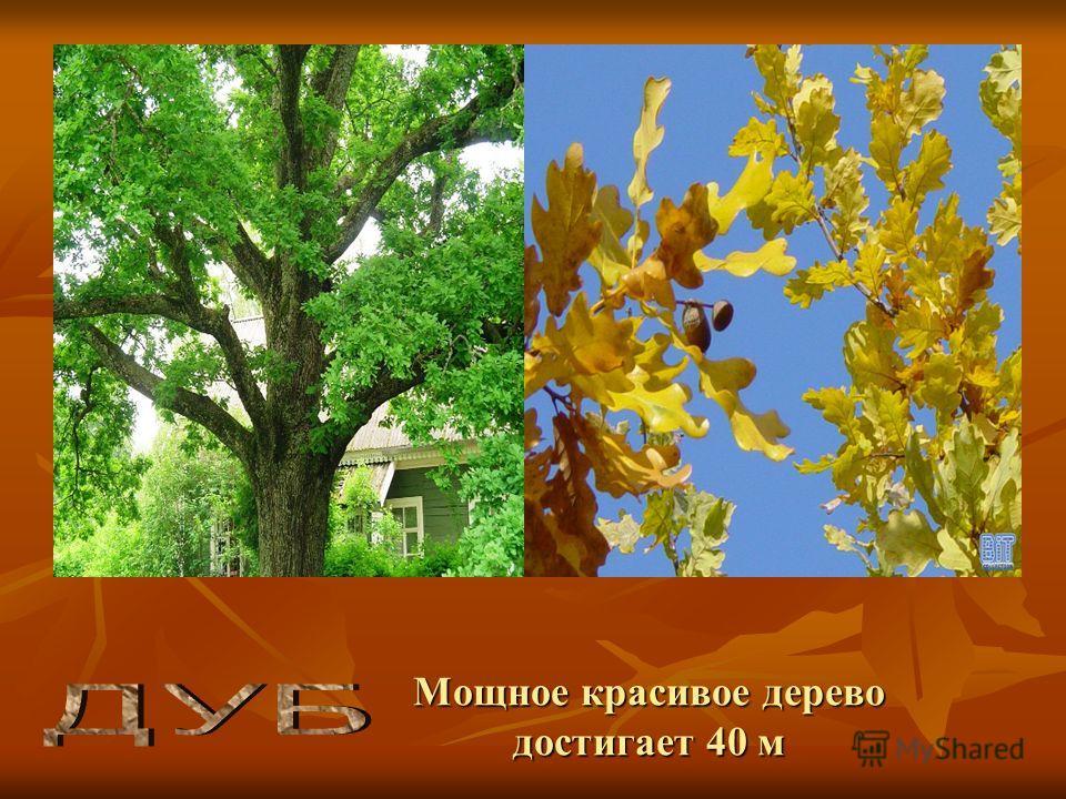 Мощное красивое дерево достигает 40 м