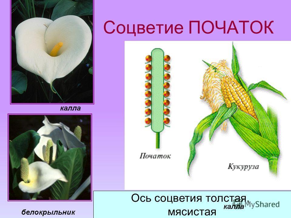 Соцветие ПОЧАТОК Ось соцветия толстая, мясистая калла белокрыльник калла