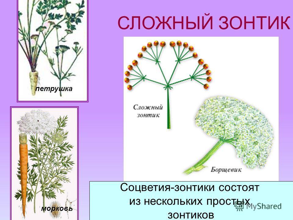 СЛОЖНЫЙ ЗОНТИК Соцветия-зонтики состоят из нескольких простых зонтиков морковь петрушка