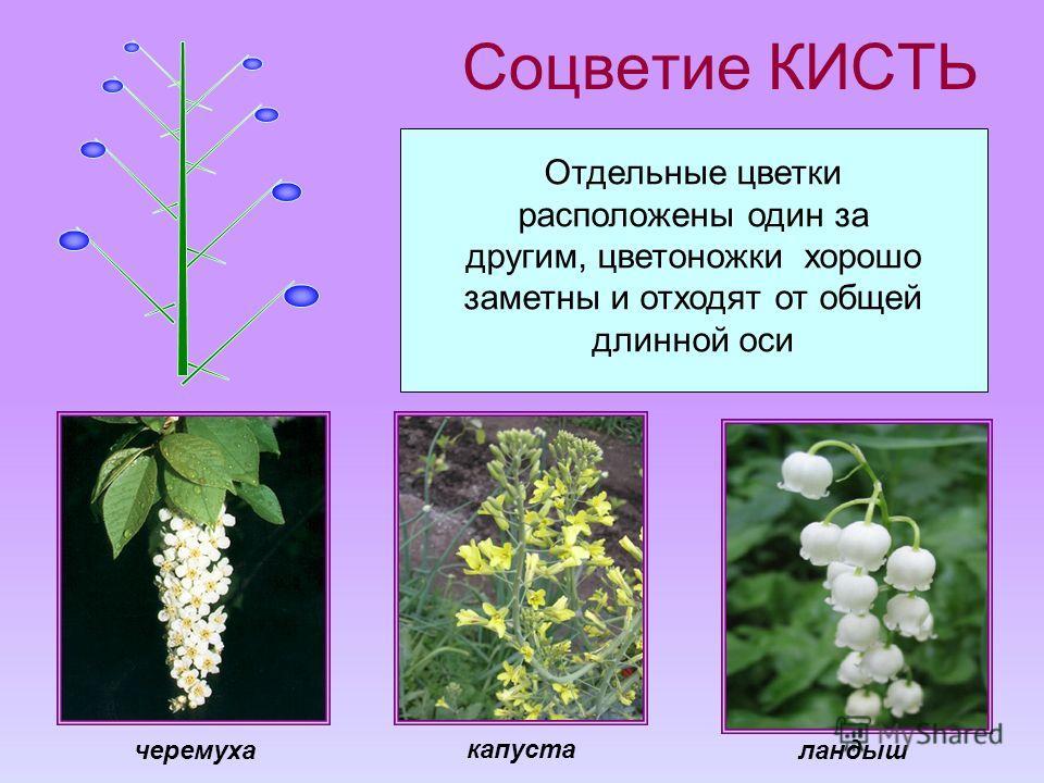 Соцветие КИСТЬ Отдельные цветки расположены один за другим, цветоножки хорошо заметны и отходят от общей длинной оси капуста черемухаландыш