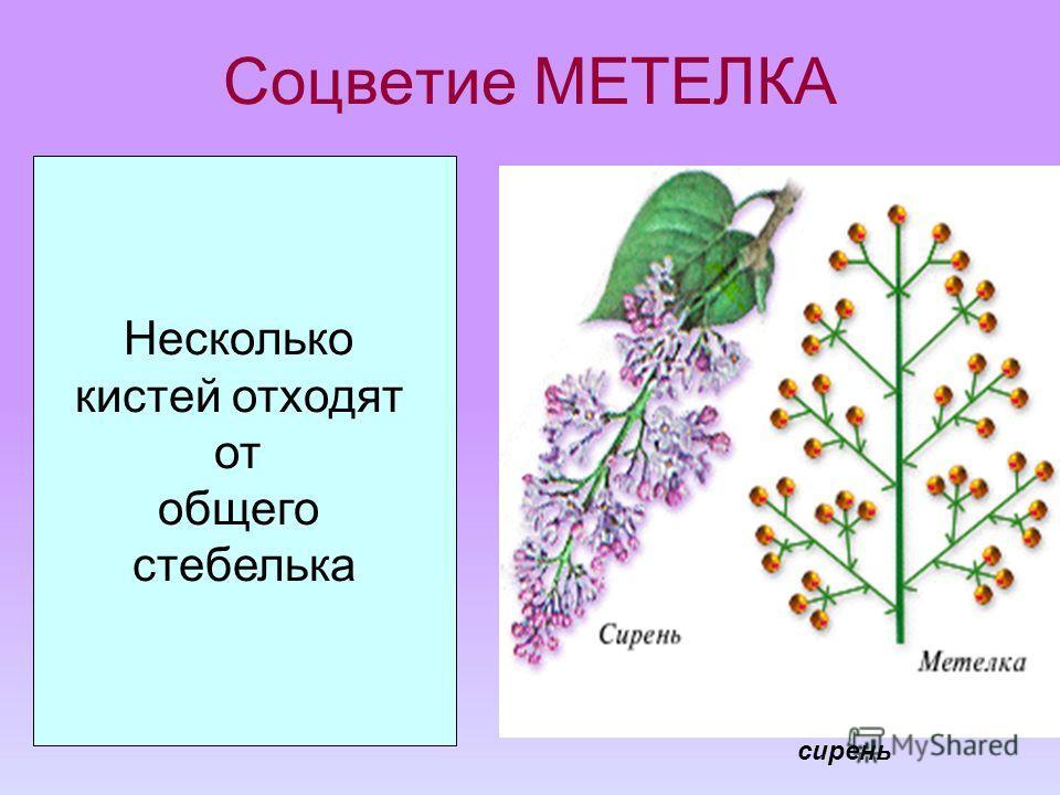 Соцветие МЕТЕЛКА Несколько