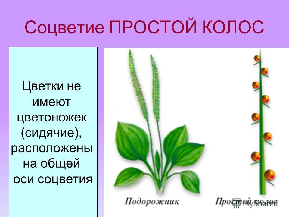 Соцветие ПРОСТОЙ КОЛОС Цветки не имеют цветоножек (сидячие), расположены на общей оси соцветия подорожник