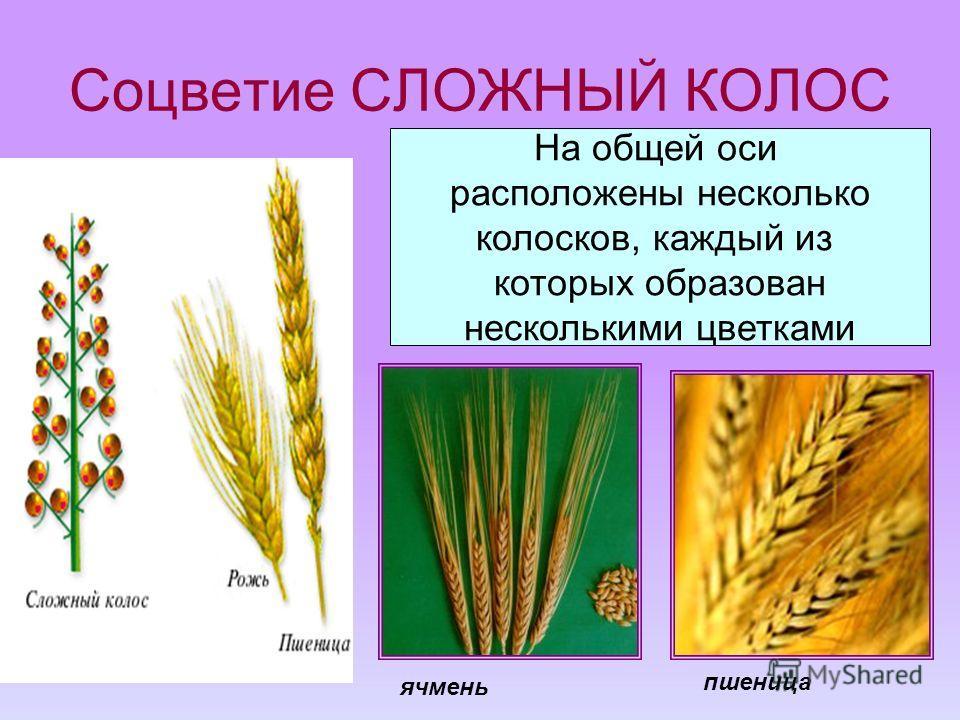 Соцветие СЛОЖНЫЙ КОЛОС На общей оси расположены несколько колосков, каждый из которых образован несколькими цветками ячмень пшеница