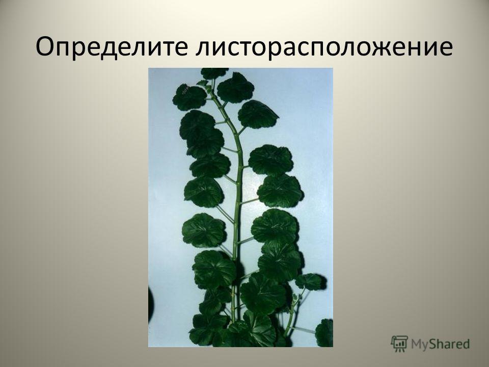 Определите листорасположение
