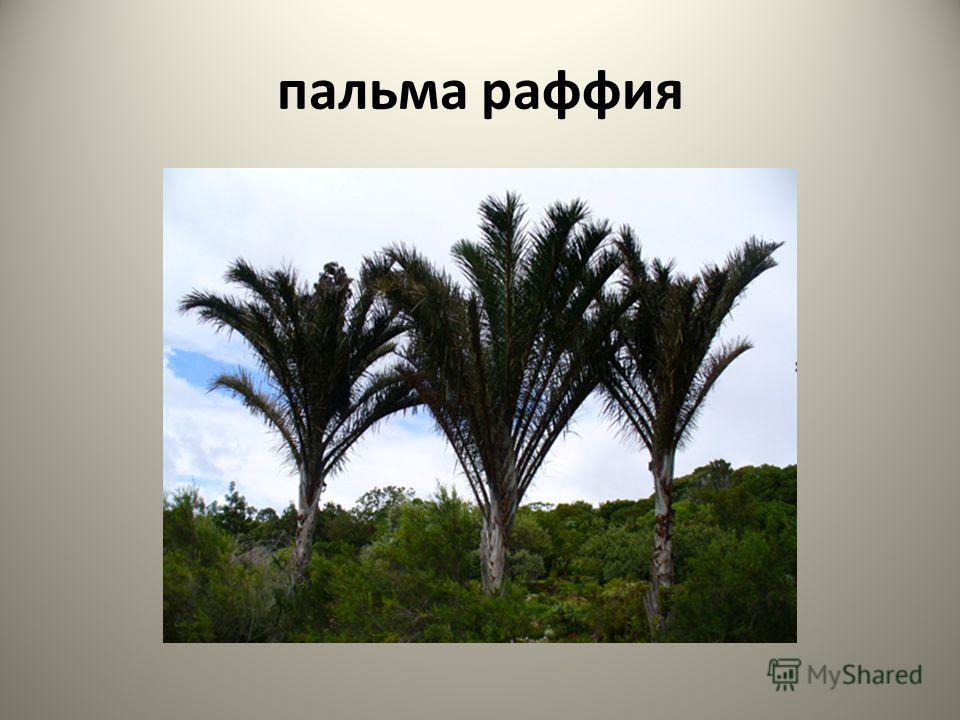 пальма раффия