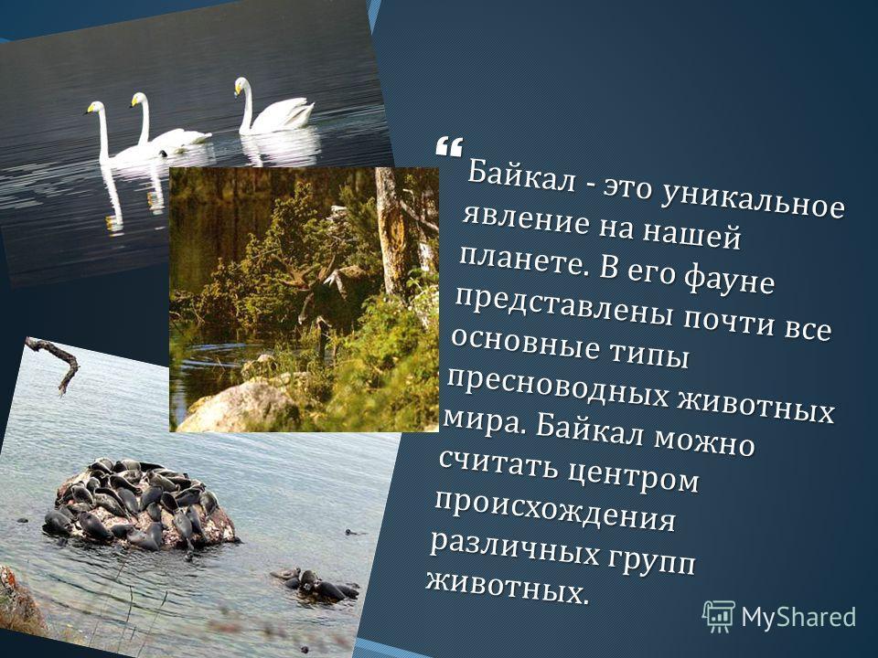 Байкал - это уникальное явление на нашей планете. В его фауне представлены почти все основные типы пресноводных животных мира. Байкал можно считать центром происхождения различных групп животных. Байкал - это уникальное явление на нашей планете. В ег