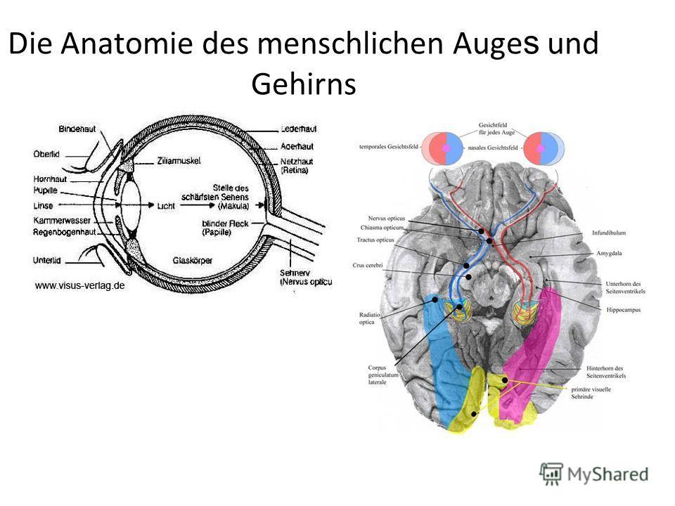 Die Anatomie des menschlichen Auge s und Gehirns