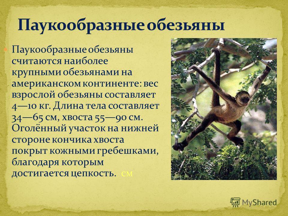 Паукообразные обезьяны считаются наиболее крупными обезьянами на американском континенте: вес взрослой обезьяны составляет 410 кг. Длина тела составляет 3465 см, хвоста 5590 см. Оголённый участок на нижней стороне кончика хвоста покрыт кожными гребеш