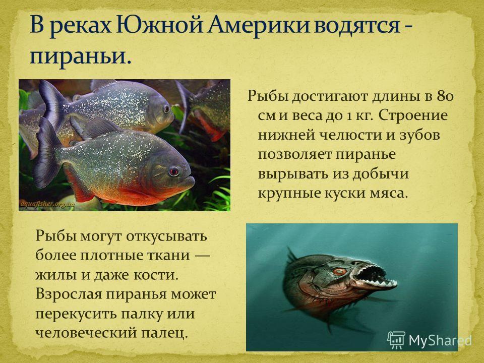 Рыбы достигают длины в 80 см и веса до 1 кг. Строение нижней челюсти и зубов позволяет пиранье вырывать из добычи крупные куски мяса. Рыбы могут откусывать более плотные ткани жилы и даже кости. Взрослая пиранья может перекусить палку или человечески