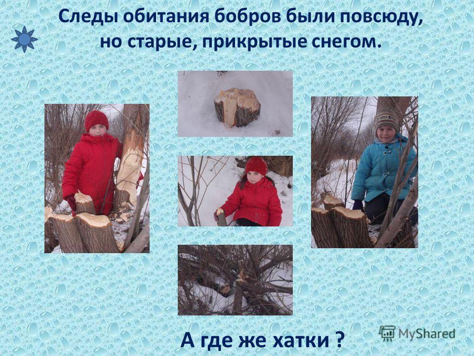 Следы обитания бобров были повсюду, но старые, прикрытые снегом. А где же хатки ?