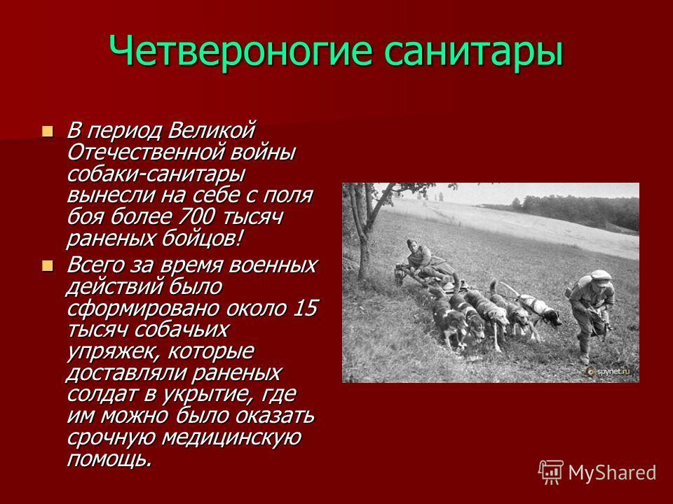 Четвероногие санитары В период Великой Отечественной войны собаки-санитары вынесли на себе с поля боя более 700 тысяч раненых бойцов! В период Великой Отечественной войны собаки-санитары вынесли на себе с поля боя более 700 тысяч раненых бойцов! Всег