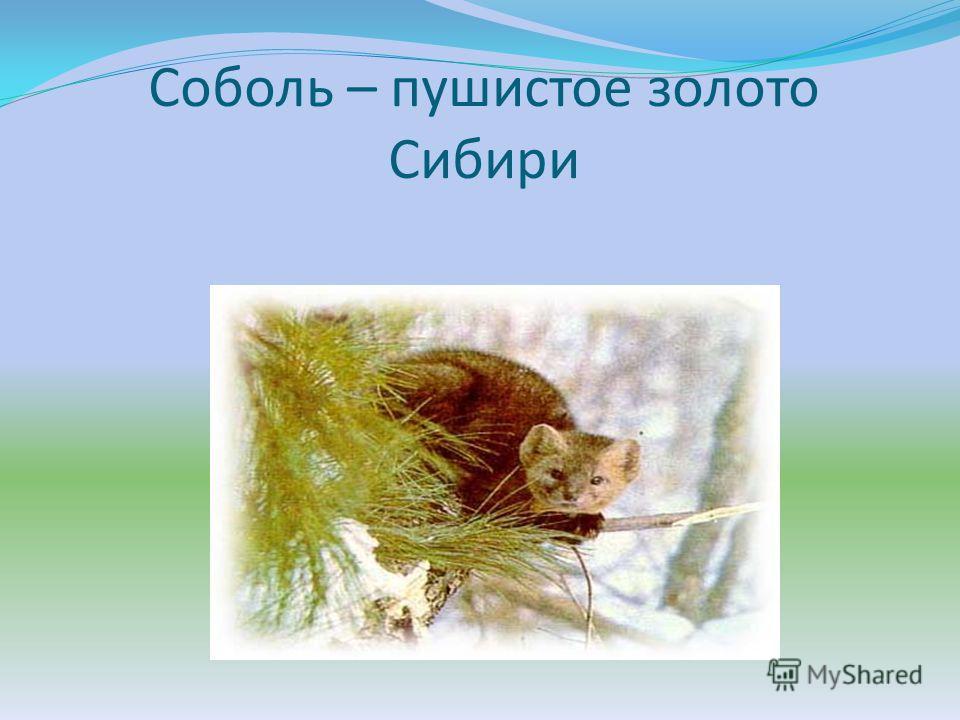 Соболь – пушистое золото Сибири