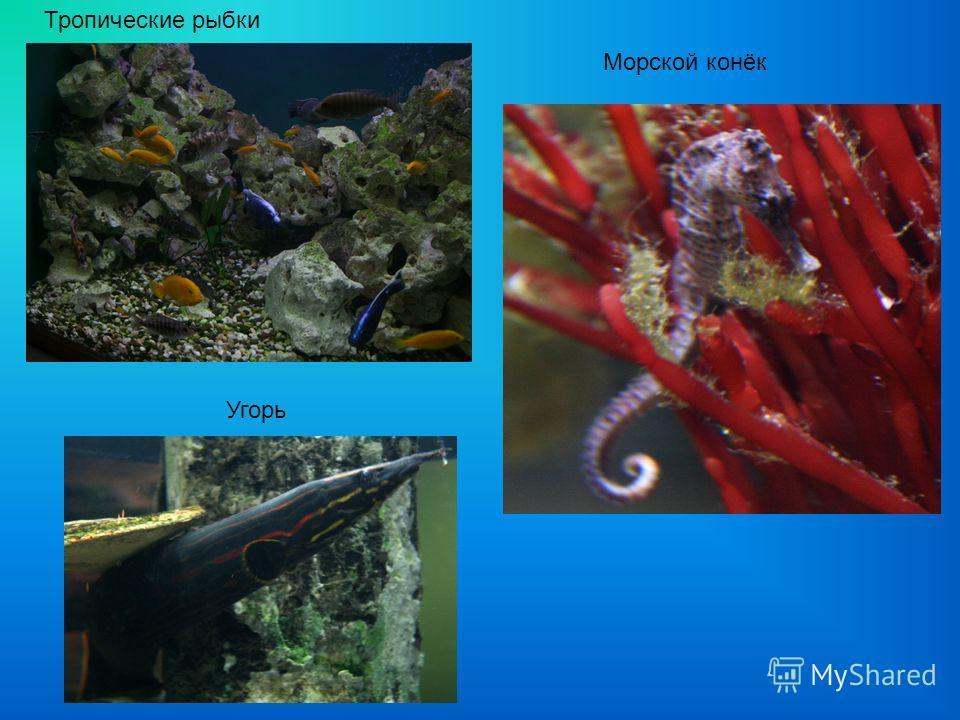 Тропические рыбки Угорь Морской конёк