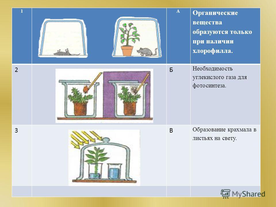 1 А Органические вещества образуются только при наличии хлорофилла. 2Б Необходимость углекислого газа для фотосинтеза. 3 В Образование крахмала в листьях на свету.