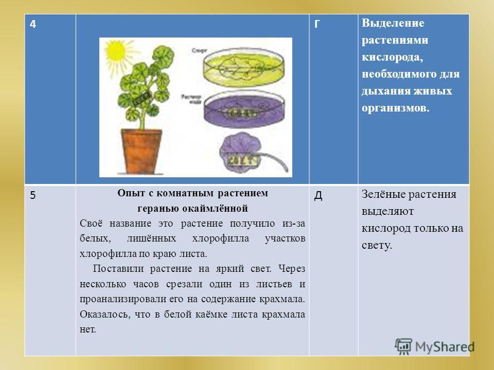 4Г Выделение растениями кислорода, необходимого для дыхания живых организмов. 5 Опыт с комнатным растением геранью окаймлённой Своё название это растение получило из-за белых, лишённых хлорофилла участков хлорофилла по краю листа. Поставили растение