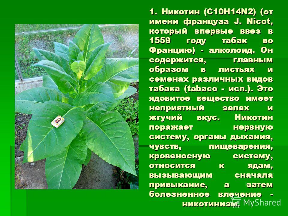 1. Никотин (С10Н14N2) (от имени француза J. Nicot, который впервые ввез в 1559 году табак во Францию) - алколоид. Он содержится, главным образом в листьях и семенах различных видов табака (tabaco - исп.). Это ядовитое вещество имеет неприятный запах