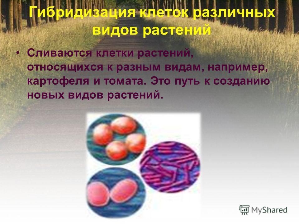 Гибридизация клеток различных видов растений Сливаются клетки растений, относящихся к разным видам, например, картофеля и томата. Это путь к созданию новых видов растений.