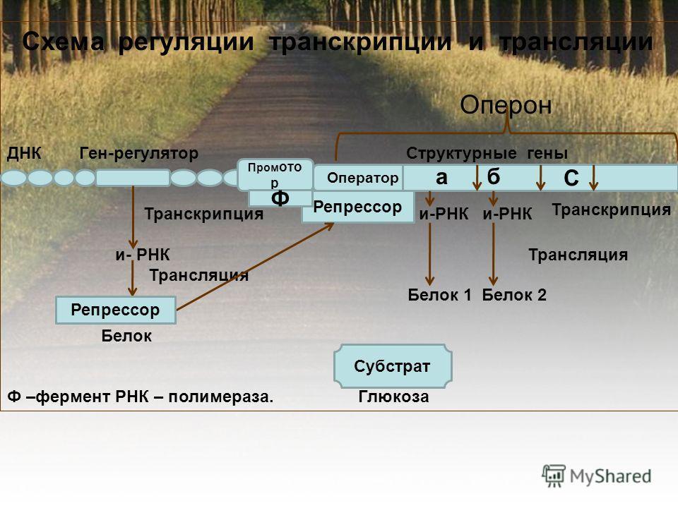 Схема регуляции транскрипции и трансляции Оперон ДНК Ген-регулятор Структурные гены Транскрипция и-РНК и-РНК и- РНК Трансляция Трансляция Белок 1 Белок 2 Белок Ф –фермент РНК – полимераза. Глюкоза Пром ото р Оператор С а б Репрессор Ф Субстрат Репрес