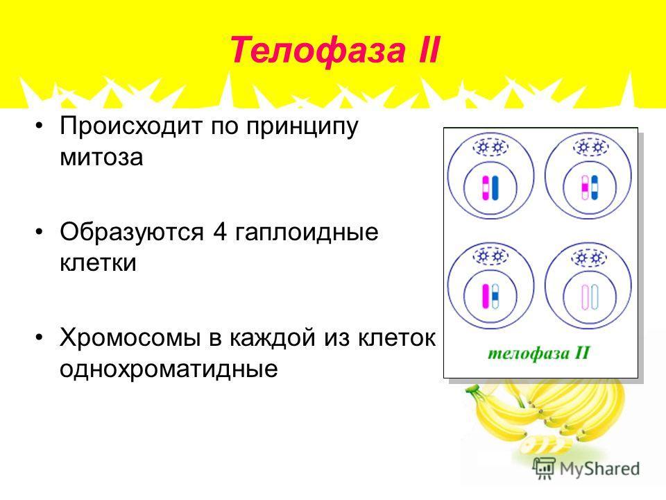 Телофаза II Происходит по принципу митоза Образуются 4 гаплоидные клетки Хромосомы в каждой из клеток однохроматидные