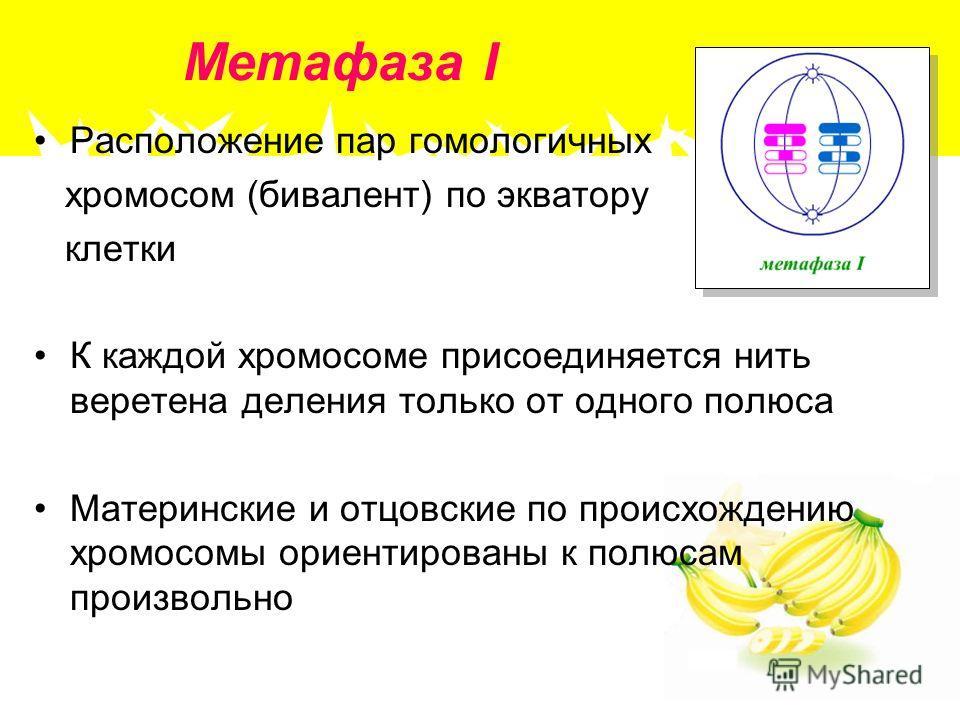 Метафаза I Расположение пар гомологичных хромосом (бивалент) по экватору клетки К каждой хромосоме присоединяется нить веретена деления только от одного полюса Материнские и отцовские по происхождению хромосомы ориентированы к полюсам произвольно