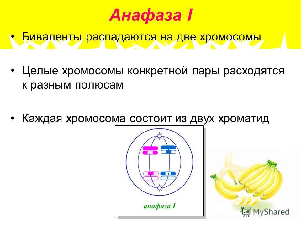 Анафаза I Биваленты распадаются на две хромосомы Целые хромосомы конкретной пары расходятся к разным полюсам Каждая хромосома состоит из двух хроматид