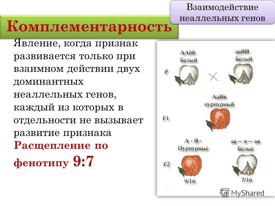 Комплементарность Взаимодействие неаллельных генов Явление, когда признак развивается только при взаимном действии двух доминантных неаллельных генов, каждый из которых в отдельности не вызывает развитие признака Расщепление по фенотипу 9:7