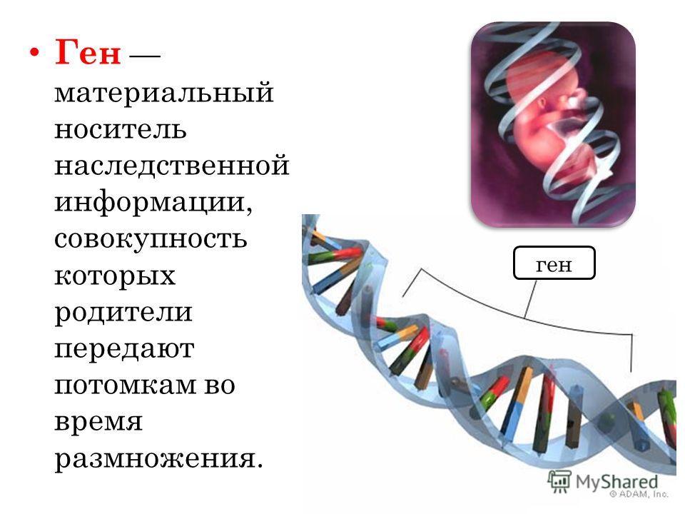 Ген материальный носитель наследственной информации, совокупность которых родители передают потомкам во время размножения. ген