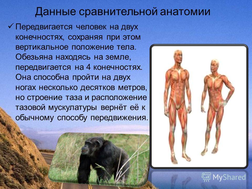 Данные сравнительной анатомии Передвигается человек на двух конечностях, сохраняя при этом вертикальное положение тела. Обезьяна находясь на земле, передвигается на 4 конечностях. Она способна пройти на двух ногах несколько десятков метров, но строен