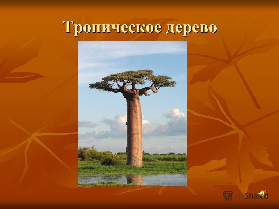 Тропическое дерево