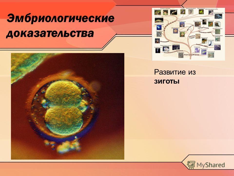 Эмбриологические доказательства Развитие из зиготы
