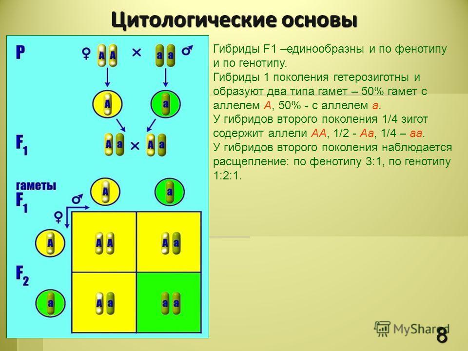 Гибриды F1 –единообразны и по фенотипу и по генотипу. Гибриды 1 поколения гетерозиготны и образуют два типа гамет – 50% гамет с аллелем А, 50% - с аллелем а. У гибридов второго поколения 1/4 зигот содержит аллели АА, 1/2 - Аа, 1/4 – аа. У гибридов вт