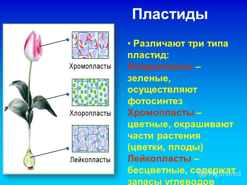 Пластиды Различают три типа пластид: Хлоропласты – зеленые, осуществляют фотосинтез Хромопласты – цветные, окрашивают части растения (цветки, плоды) Лейкопласты – бесцветные, содержат запасы углеводов