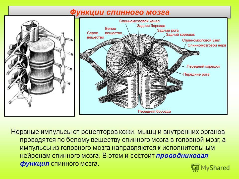 Функции спинного мозга Нервные импульсы от рецепторов кожи, мышц и внутренних органов проводятся по белому веществу спинного мозга в головной мозг, а импульсы из головного мозга направляются к исполнительным нейронам спинного мозга. В этом и состоит