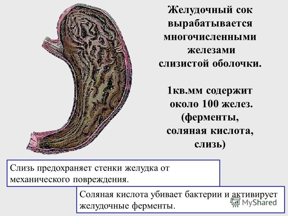 Желудок По форме желудок похож на бычий рог или крючок. Емкость около 2л. Здесь пища задерживается и перемешивается.