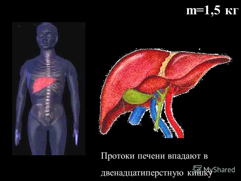 Желудочный сок вырабатывается многочисленными железами слизистой оболочки. 1кв.мм содержит около 100 желез. (ферменты, соляная кислота, слизь) Слизь предохраняет стенки желудка от механического повреждения. Соляная кислота убивает бактерии и активиру