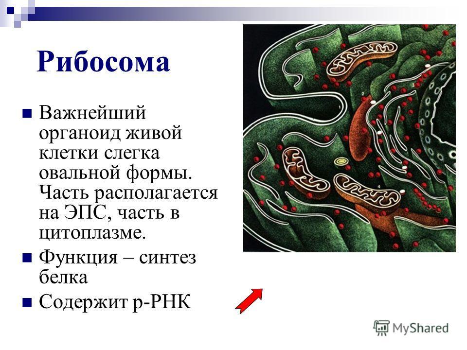 Рибосома Важнейший органоид живой клетки слегка овальной формы. Часть располагается на ЭПС, часть в цитоплазме. Функция – синтез белка Содержит р-РНК