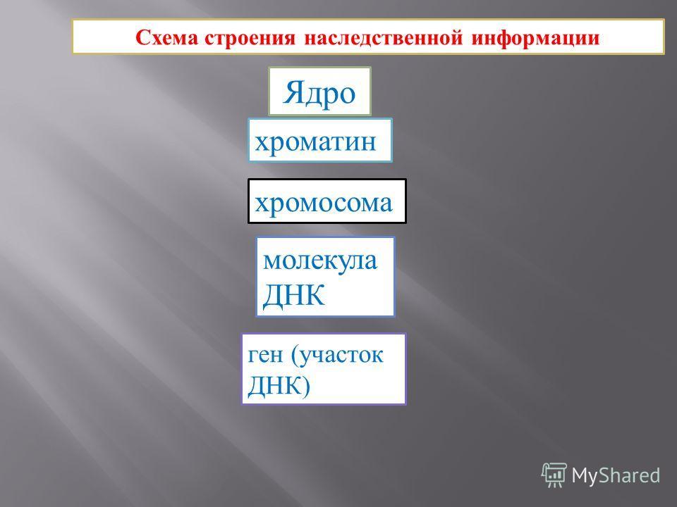 Схема строения наследственной информации Ядро хроматин хромосома молекула ДНК ген (участок ДНК)