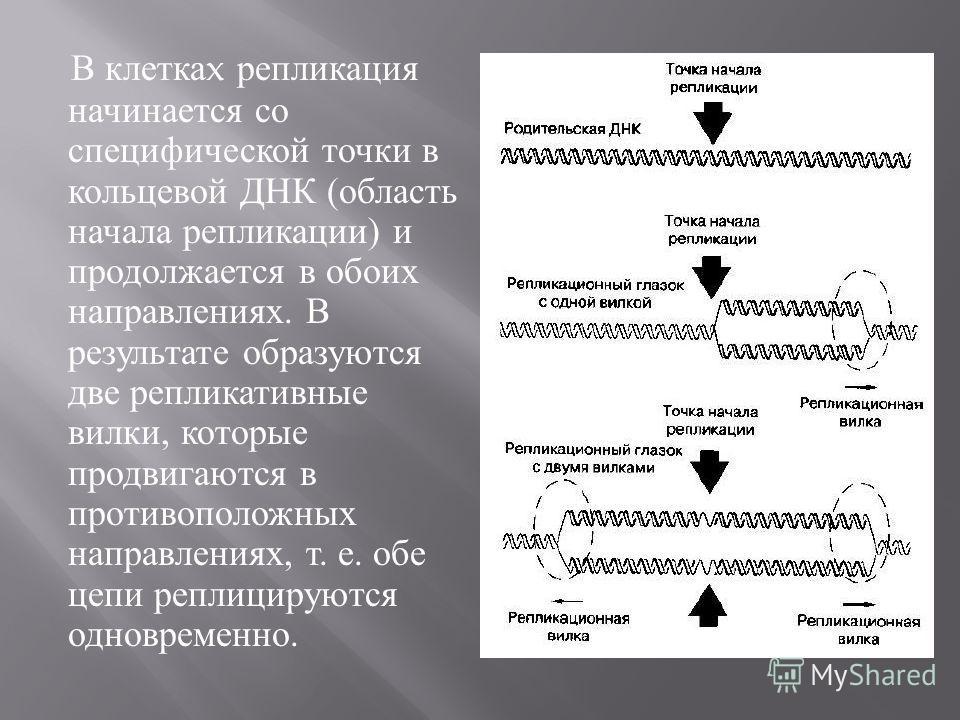 В клетка x репликация начинается со специфической точки в кольцевой ДНК ( область начала репликации ) и продолжается в обоих направлениях. В результате образуются две репликативные вилки, которые продвигаются в противоположных направлениях, т. е. обе