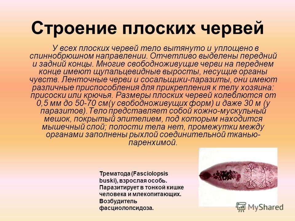 Строение плоских червей У всех плоских червей тело вытянуто и уплощено в спиннобрюшном направлении. Отчетливо выделены передний и задний концы. Многие свободноживущие черви на переднем конце имеют щупальцевидные выросты, несущие органы чувств. Ленточ