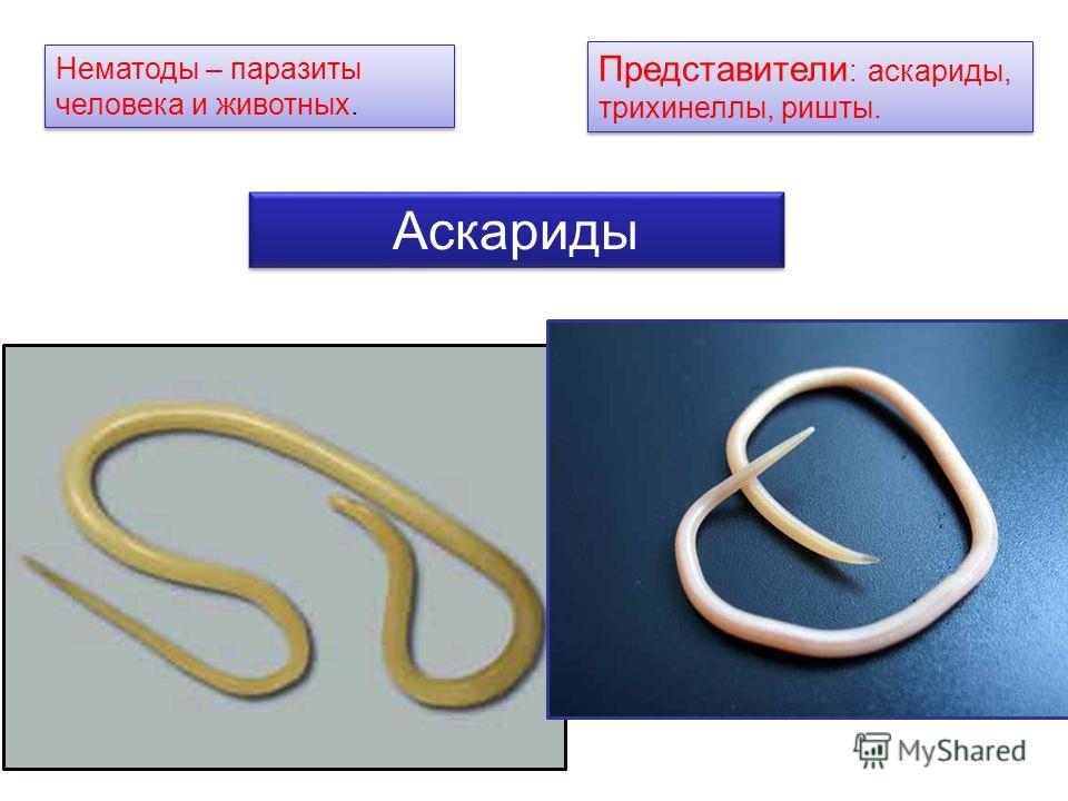 Нематоды – паразиты человека и животных. Представители : аскариды, трихинеллы, ришты. Аскариды