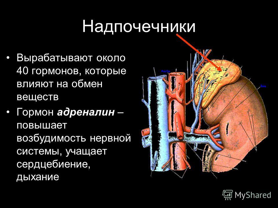 Надпочечники Вырабатывают около 40 гормонов, которые влияют на обмен веществ Гормон адреналин – повышает возбудимость нервной системы, учащает сердцебиение, дыхание