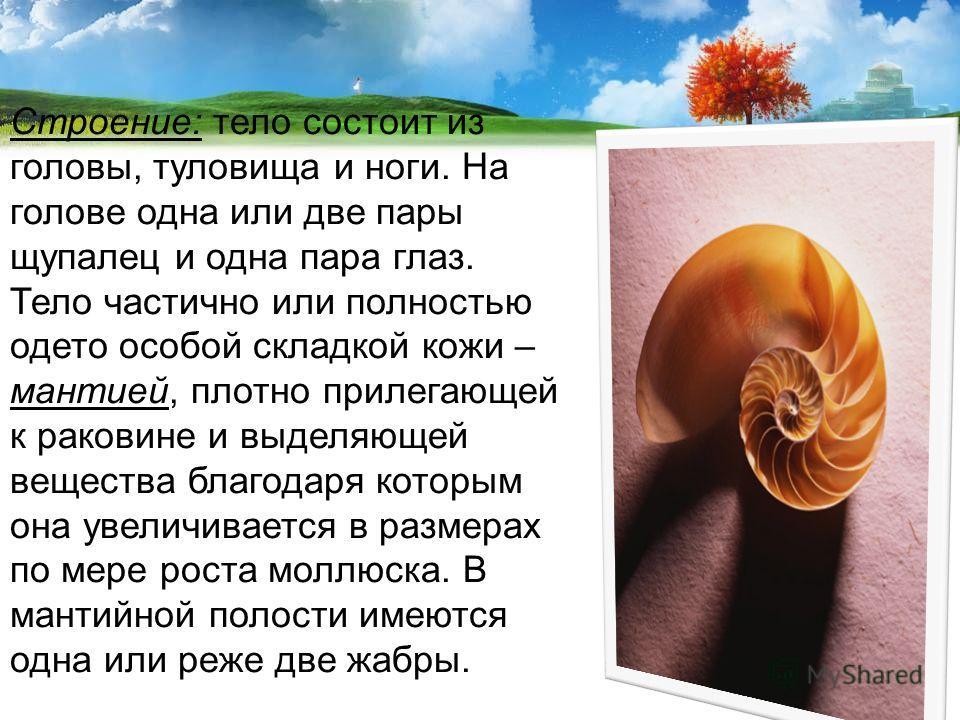 Строение: тело состоит из головы, туловища и ноги. На голове одна или две пары щупалец и одна пара глаз. Тело частично или полностью одето особой складкой кожи – мантией, плотно прилегающей к раковине и выделяющей вещества благодаря которым она увели