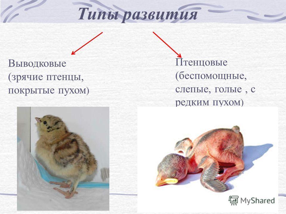Типы развития Выводковые (зрячие птенцы, покрытые пухом ) Птенцовые (беспомощные, слепые, голые, с редким пухом )